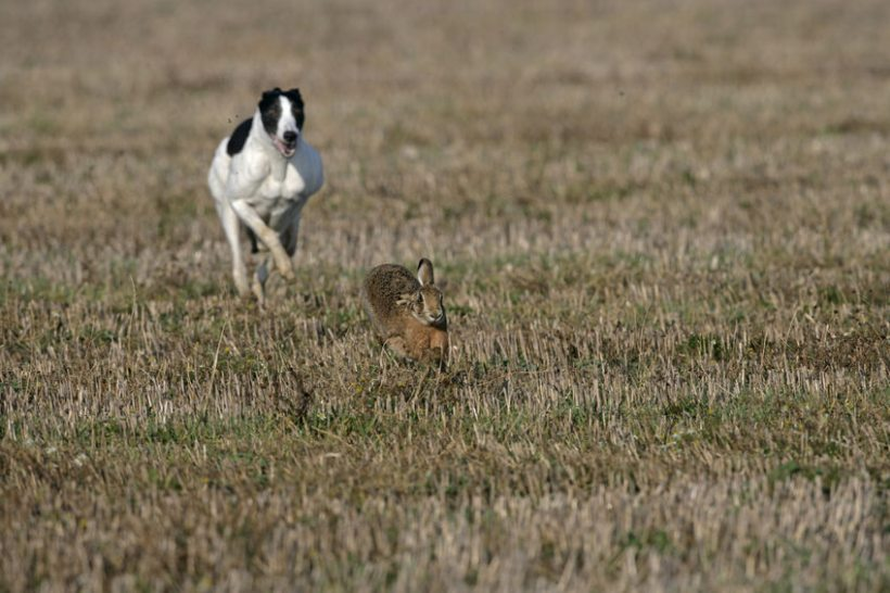 The hare coursers caused hundreds of pounds of damage, according to the police