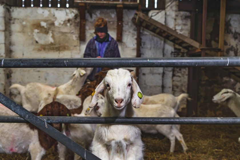 The public can book a goat for £5 to join in on their video call conversations