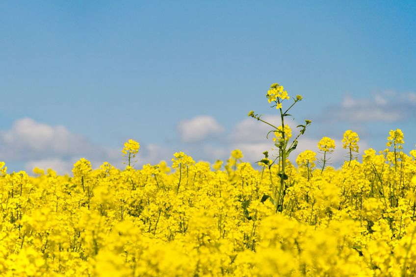 The price of oilseed rape has surged to a multi-year high in recent weeks