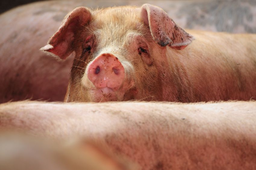 One of Scotland's largest pig sites has temporarily shut down after the discovery