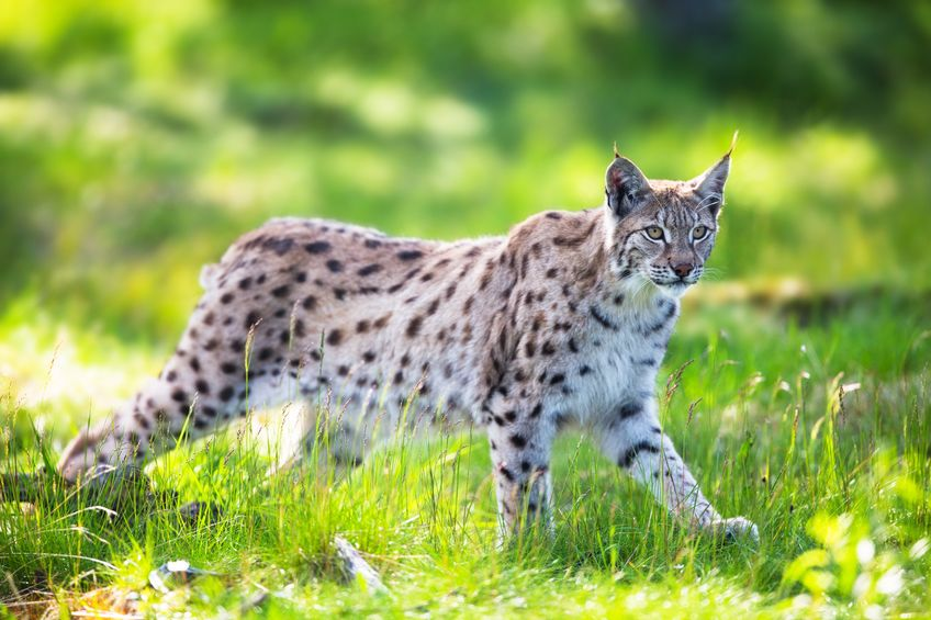 A new bid to introduce lynx to Northumberland has been criticised by the sheep sector