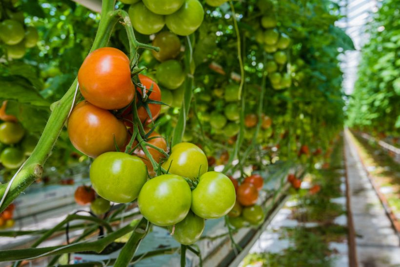 The on-farm trials ultimately aim to significantly reduce tomato losses
