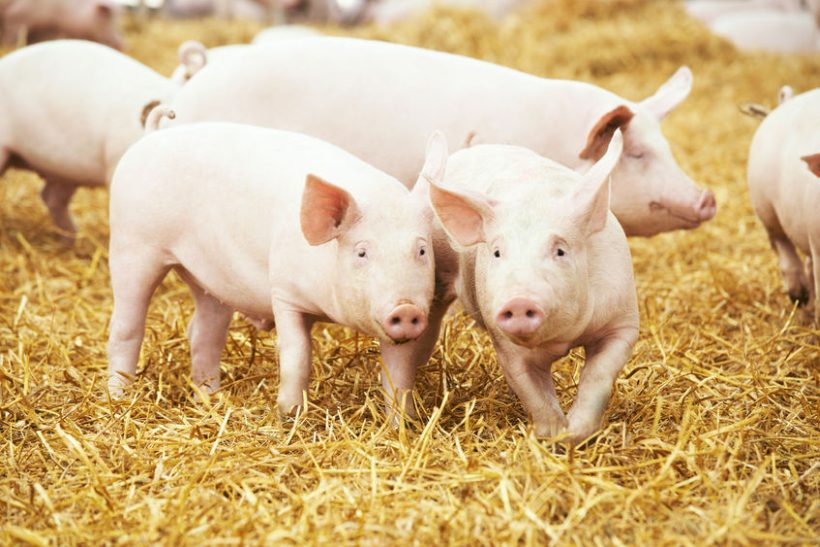The NPA estimates that on average, farmers are losing around £20 on each pig they produce