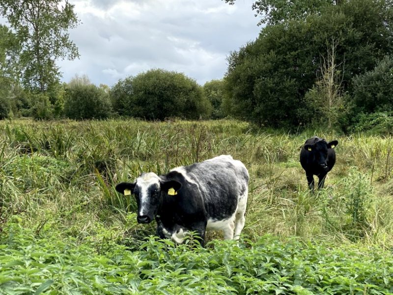 Waitrose is beefing up cattle production at the Leckford Estate