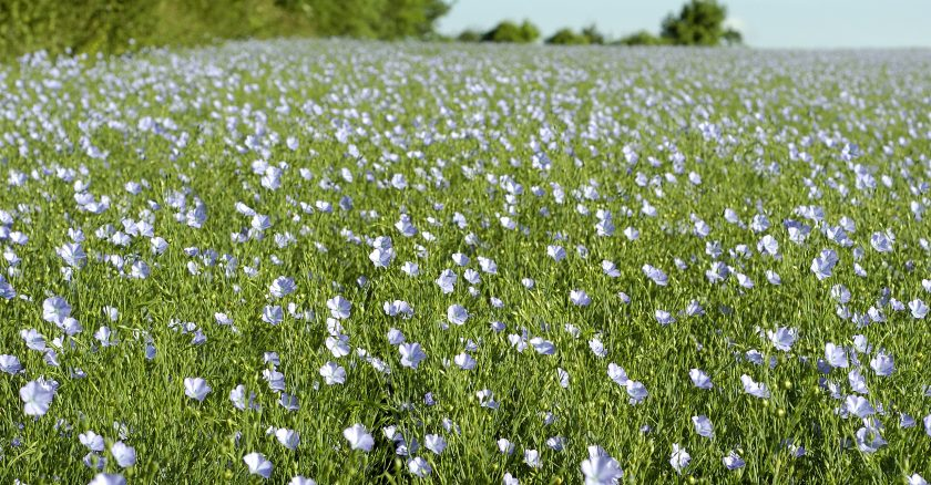 Spring linseed is a perfect fit for farmers considering a rotation rethink this spring, Robin Appel says