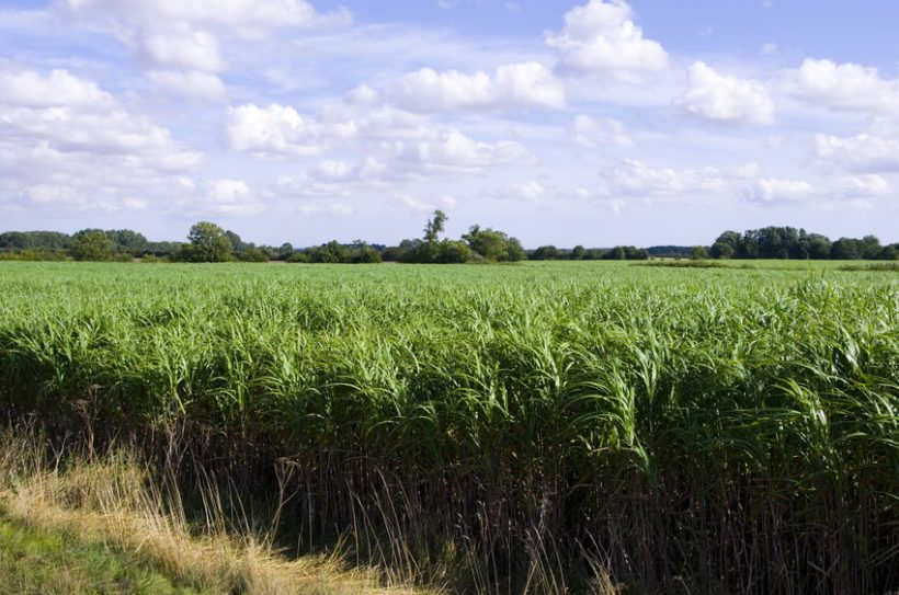 Energy crops are low-cost and low-maintenance crops grown solely for energy production