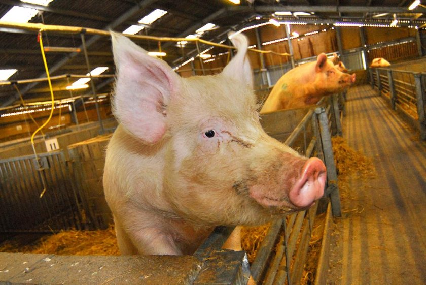 Gene-editing technologies could be used to precisely alter genes in pigs that flu viruses use to establish infection