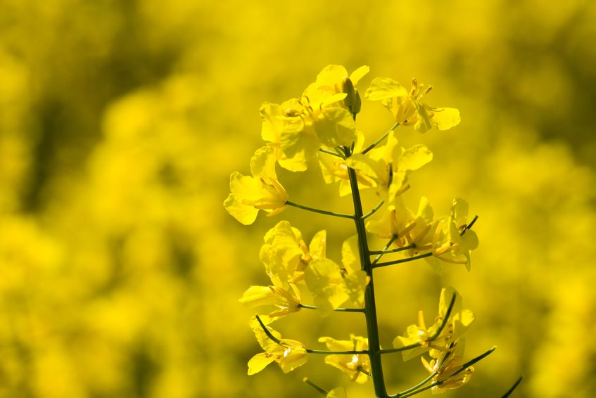 AHDB's sclerotinia alerts aim to help growers understand potential infection risk periods