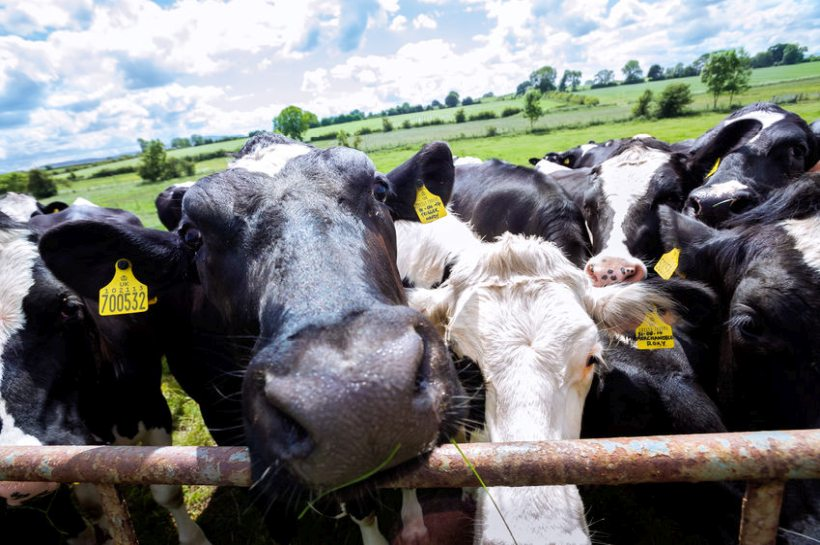 Scientists have found that 'livestock lockdown' may damage the wellbeing in dairy cows