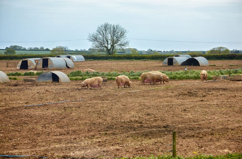 Pig producers have insisted that all pork bought under the food plan should be to UK legal standards