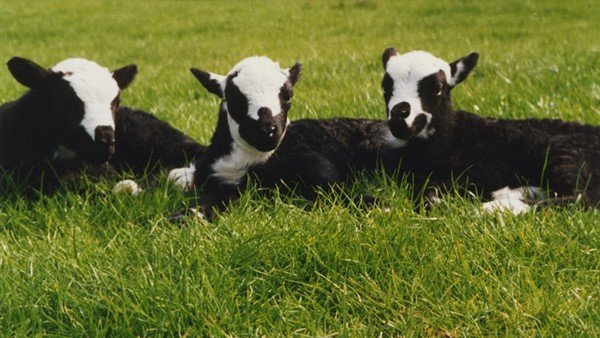 The Welsh government has been urged to promote the benefits of native breeds