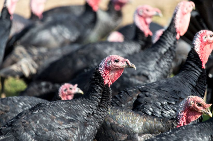 H5N3 avian influenza has been discovered in turkeys in Cheshire