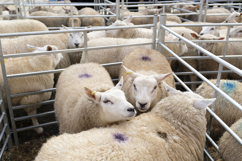 Prices for beef and sheep remain firm despite trade disruption following Brexit