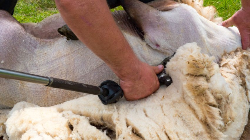 International shearers will be able to travel to the UK between 1 April and 30 June