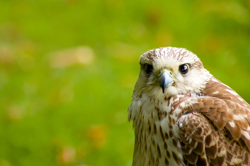 Avian influenza H5N8 was discovered in two falcons at a private residential premises