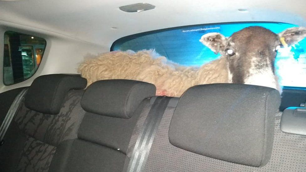 The ewe was discovered in the back of a Peugeot (Photo: Leicestershire Police)
