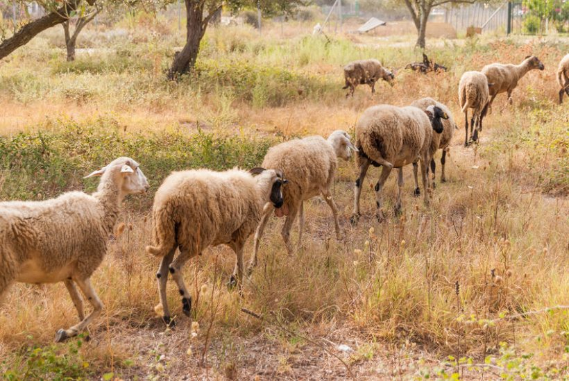 Some breeds of sheep are more resilient to temperature fluctuations making them more productive