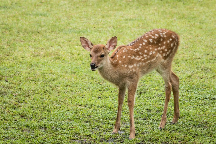 Scientists say there is a correlation between higher deer numbers and higher bTB infections