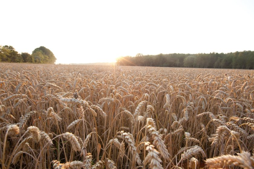 The new partnership aims to provide farmers with high-potential wheat varieties