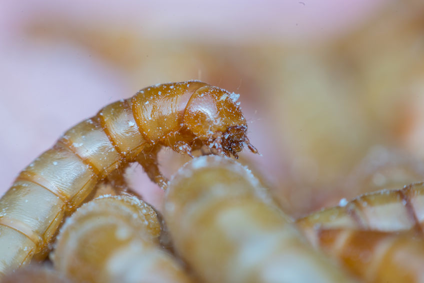 Mealworms can be fed on organic food waste and can be reared using less land and water than soya