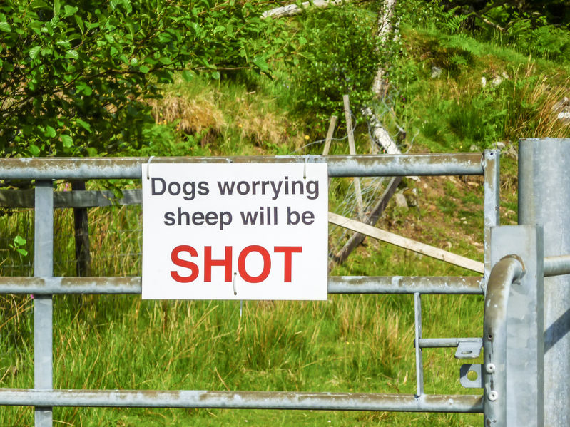 The farmer shot the dog after it ran havoc on his land and killed six lambs (Stock photo)