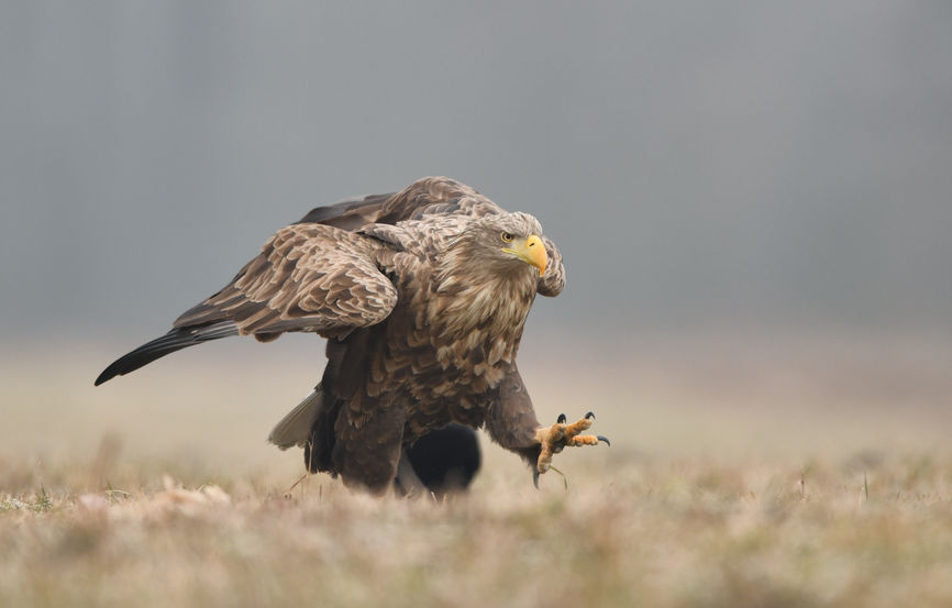 The Natural England licence will allow up to 60 birds to be released over a 10-year period