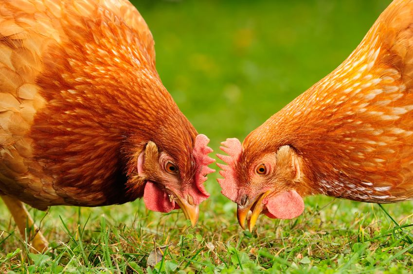 The findings show that the largest contributor to emissions on a free range egg farm is bought-in feed