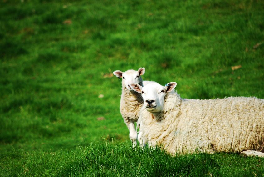 Contagious Ovine Digital Dermatitis (CODD), a lameness disease, scored highly in the UK-wide survey