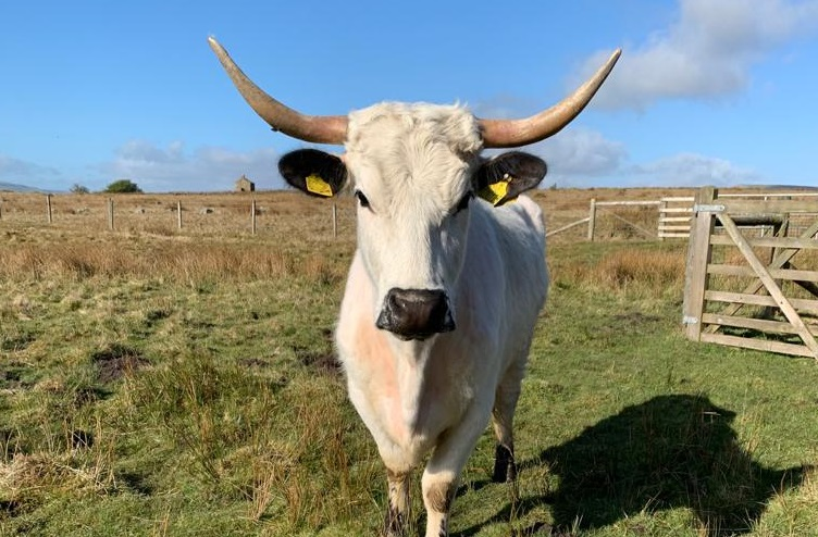 Numbers of White Park cattle plunged as low as 60 in 1973, but have since recovered to 950 breeding cows