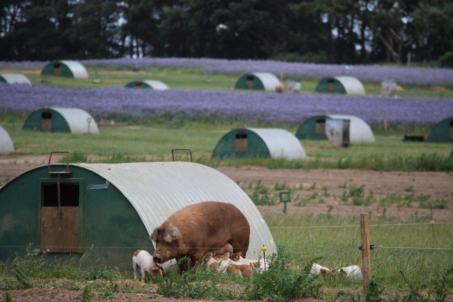 The Suffolk pig farming enterprise incorporates wildflowers for bees