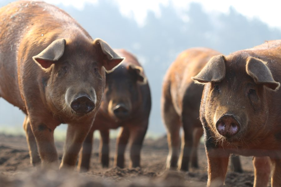 The unique nature of Dingley Dell's marbled pork has enabled them to push into new markets