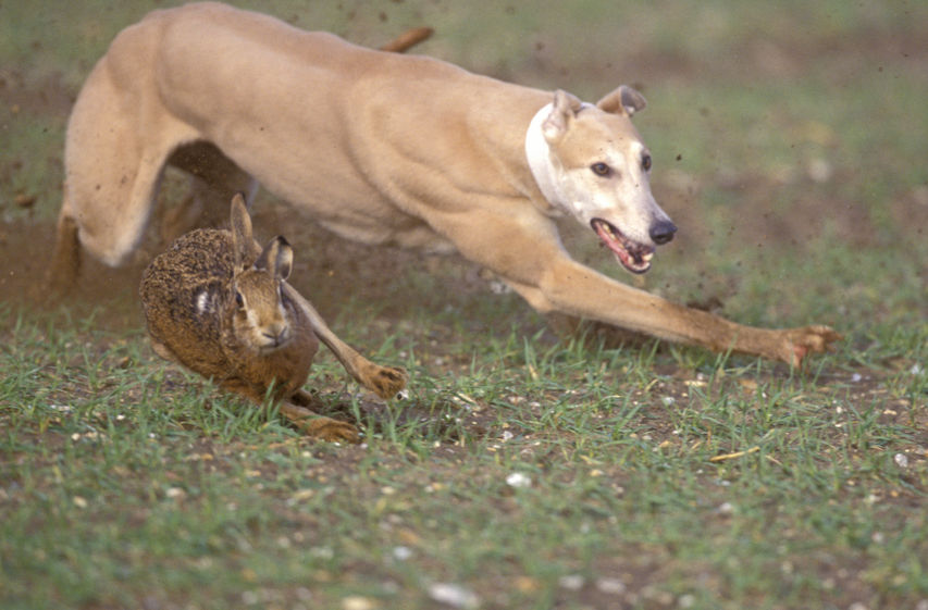 The crime involves using dogs to illegally pursue and destroy wild hares, often taking place on farmland