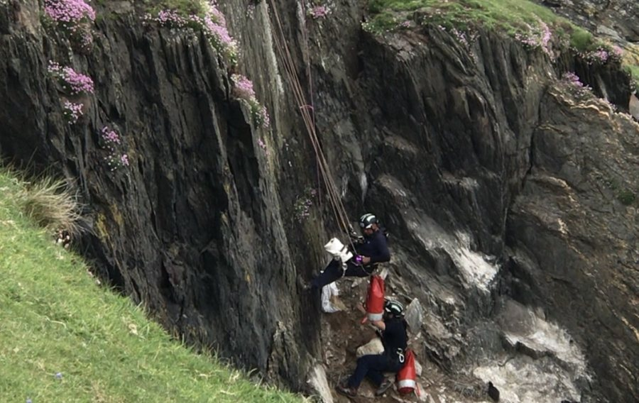The lamb faced a 20-metre drop, where she would have fallen on rocks and landed in the sea