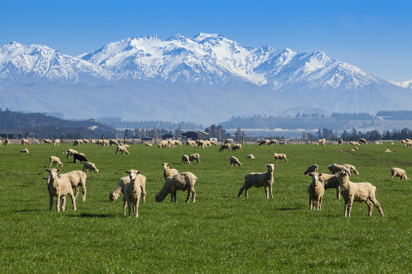 Beef and sheep meat tariffs have been a sticking point for the UK-NZ trade talks
