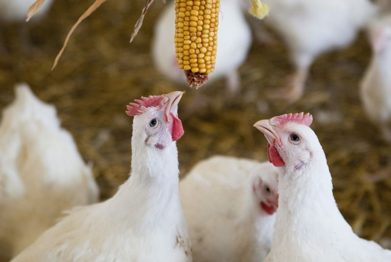 In a first-of-its-kind move, M&S will expand its slower-growing, higher welfare chicken stock