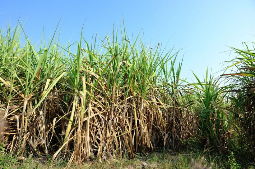 The government's 260,00t tariff-free quota for raw cane sugar imports came into effect in January