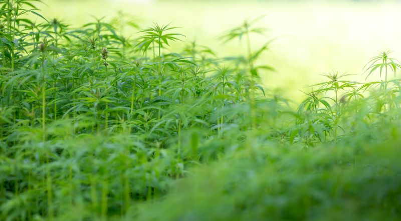 There are only about 20 licensed UK growers, totalling just 2,000 hectares