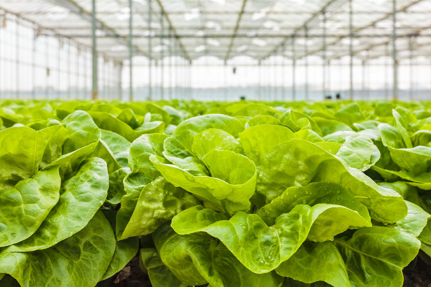 A commercial robotic solution could reduce lettuce harvesting labour requirements by around 50%