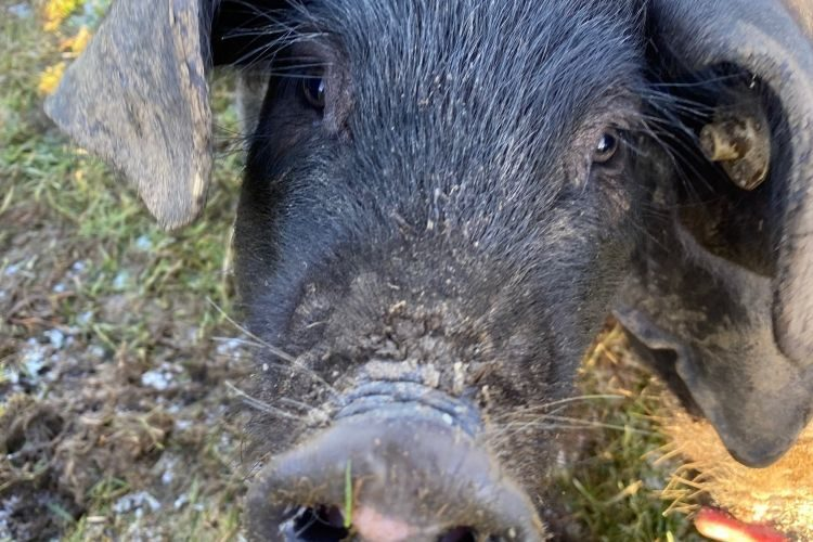 There has been a significant rise in pig throughput, leading to an increase in total pig meat production