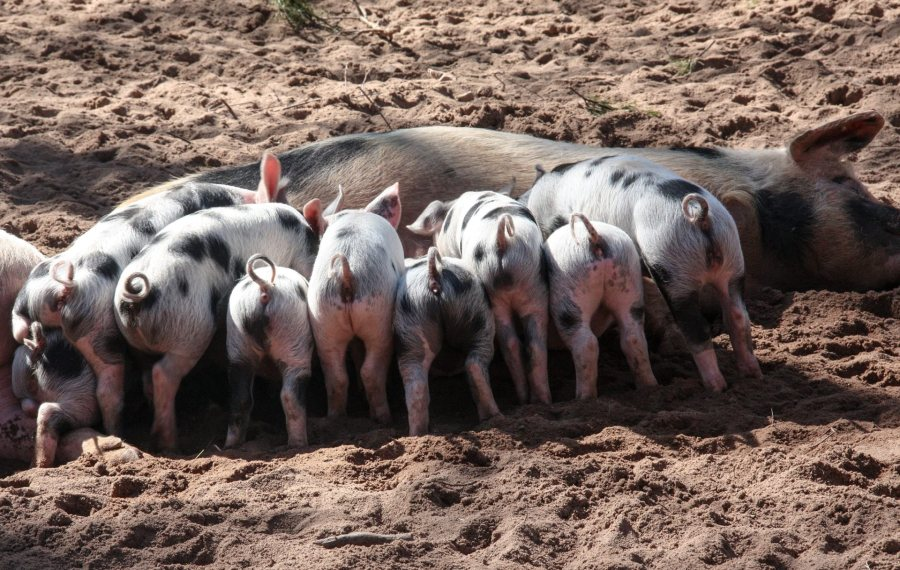 The grant helps pig producers in Wales promote their farming business and pork products