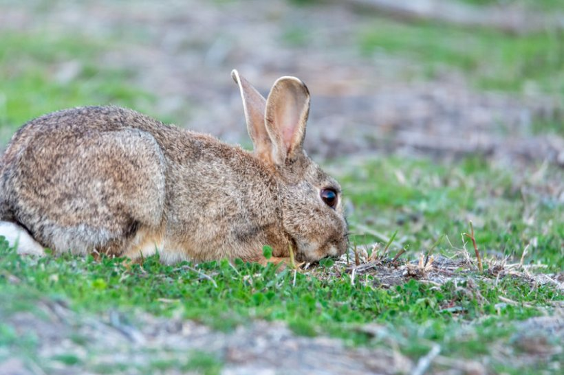 Invasive rabbits are causing severe damage to UK agricultural areas due to overgrazing, researchers say