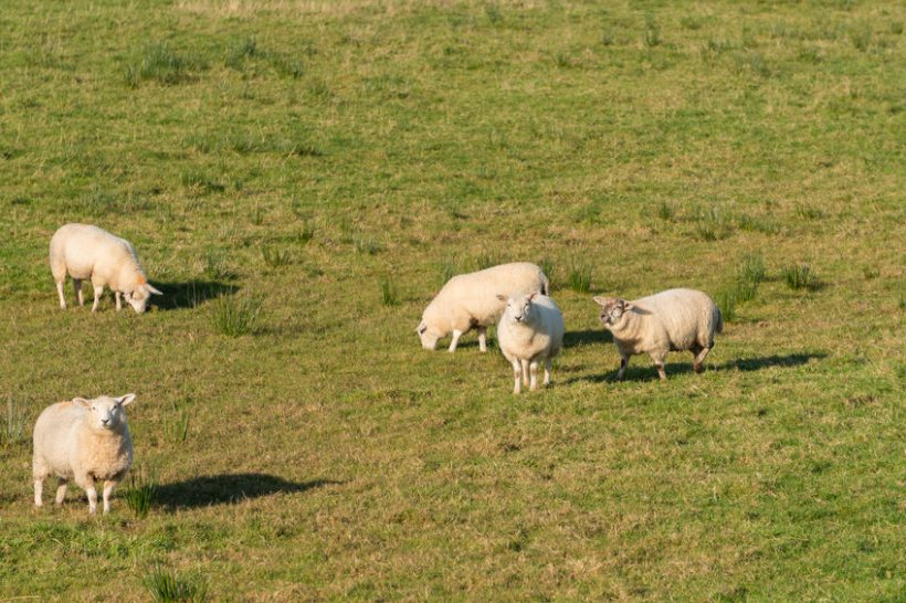 Sheep farmers across the UK have suffered an increase in worrying attacks by dogs over the past year