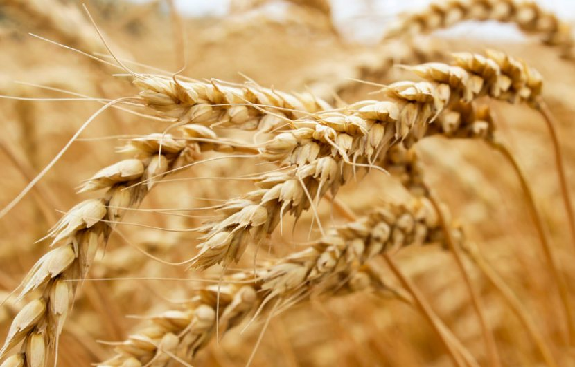 The experiments will be the first field trials of CRISPR edited wheat anywhere in the UK or Europe