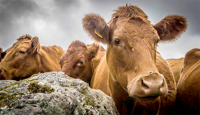 Classical bovine spongiform encephalopathy, commonly known as 'mad cow disease', was confirmed on Friday