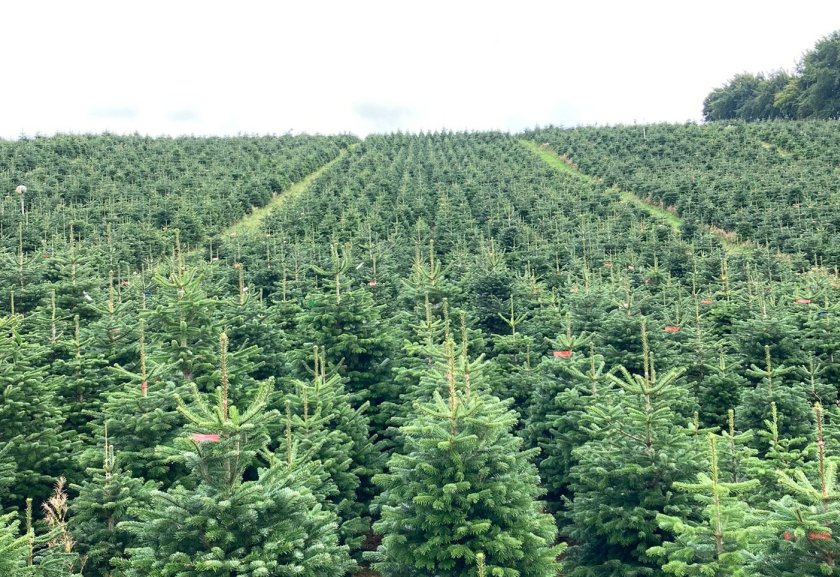 With less than 100 days to go until Christmas, growers are warning of labour shortages and rising costs