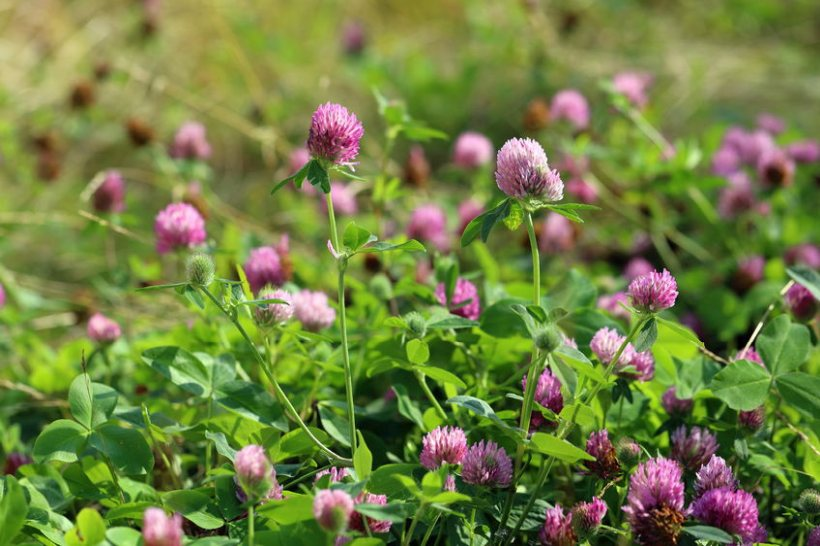 A growing number of sheep producers are beginning to reap the benefits of mixed red clover leys