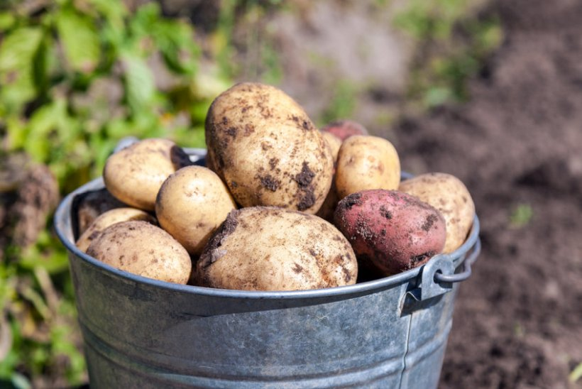 Signees to the pledge have agreed to favour organic spuds that have been bred to be blight resistant